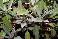 Salvia Immagini Stock