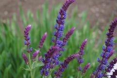 Salvia Stock Afbeeldingen