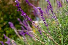 Salvia Στοκ εικόνα με δικαίωμα ελεύθερης χρήσης