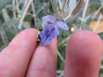 Salvia Royaltyfria Bilder
