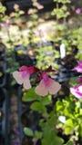 Salvia Arkivbild