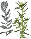 Salvia argentea e foglia grandiflora di Portulaca Fotografie Stock