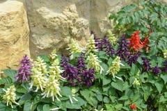 Salvia auf Steinwandhintergrund Lizenzfreie Stockbilder