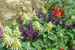Salvia auf Steinwandhintergrund Rotes, weißes und purpurrotes Salvia Stockfotos