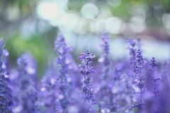Salvia azul Foto de Stock Royalty Free