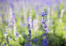 Salvia1 azul Imagens de Stock Royalty Free