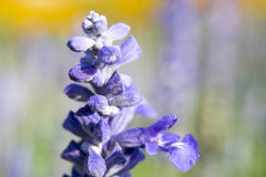 Salvia2 azul Imagem de Stock Royalty Free
