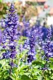 Salvia azul Foto de Stock