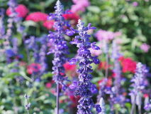 Salvia azul Fotos de Stock