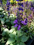 Salvia `-Balsalmisp `, Salvia Mystic Spires Blue Royaltyfria Bilder