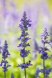 Salvia blomma Fotografering för Bildbyråer