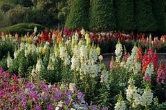 Salvia blomma i trädgården Royaltyfri Fotografi