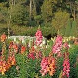 Salvia blomma i trädgården Arkivfoto