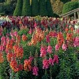 Salvia blomma i trädgården Arkivfoton