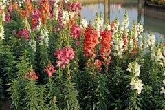 Salvia blomma i trädgården Royaltyfria Foton