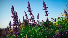Salvia Bloom azul belamente, recebe a luz solar imagens de stock