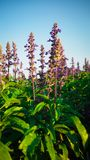 Salvia Bloom azul belamente, recebe a luz solar fotografia de stock royalty free