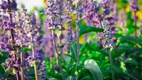 Salvia Bloom azul belamente, recebe a luz solar fotografia de stock