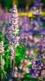 Salvia Bloom azul belamente, recebe a luz solar foto de stock