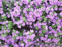 Salvia blu porpora dell'Arizona fotografia stock libera da diritti