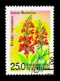 Salvia bucharica,花serie,大约1993年 免版税库存图片