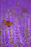 Salvia with butterfly. A butterfly is sitting on salvia background Royalty Free Stock Photography