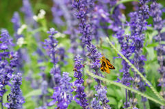 Salvia and butterfly Royalty Free Stock Photo