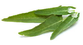 Salvia canariensis, canarian sage, leaves isolated on white Stock Photos