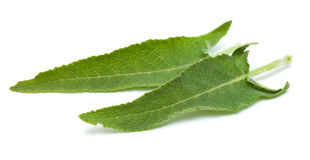 Salvia canariensis, canarian sage, leaves isolated on white Stock Images