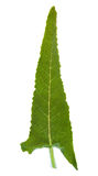 Salvia canariensis, canarian sage, leaves isolated on white Royalty Free Stock Photos