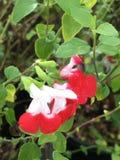 Salvia chaud de lèvres Photo libre de droits
