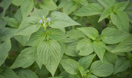 Salvia Chia春天叶子  库存图片