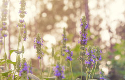 Salvia Chia foliage and purple flowers. Purple flower blossoms and green foliage of Chia, healthy organic herb Salvia Stock Image
