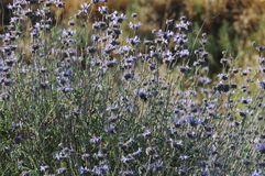 Salvia Clevelandii Purple Sage Flowering Meadow. Salvia clevelandii, the fragrant sage, blue sage, Jim sage and Cleveland sage, is a perennial plant that is Royalty Free Stock Photos