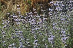 Salvia Clevelandii Purple Sage Flowering Meadow. Salvia clevelandii, the fragrant sage, blue sage, Jim sage and Cleveland sage, is a perennial plant that is Stock Photo