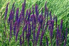 Salvia stock photography