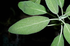 Salvia close-up (sage, also called garden sage, or common sage) Stock Image