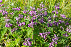 Salvia in Crimea. Royalty Free Stock Images