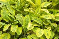 Salvia culinaria Immagine Stock