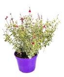 Salvia decorativo en estudio imágenes de archivo libres de regalías