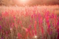 Salvia del fondo del verano imagen de archivo