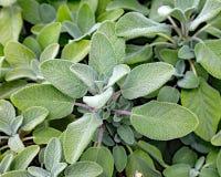 Salvia del limone Fotografia Stock