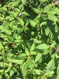 Salvia dell'ananas, pianta medicinale, anche chiamata erba medicinale immagini stock libere da diritti