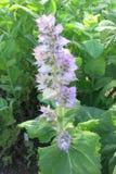 Salvia di Clary (sclarea di Salvia) Immagini Stock