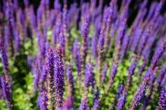 Salvia di fioritura porpora del terreno boscoso dalla fine fotografia stock libera da diritti