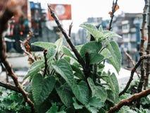 `A Salvia Dorisiana plant ` stock images