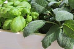 Salvia e basilico Immagine Stock