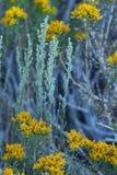 Salvia e giallo carico Fotografia Stock