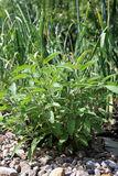 Salvia ed aglio Fotografie Stock
