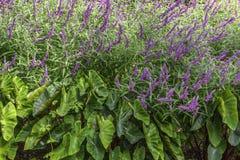 Salvia and Elephant Ears Plants Stock Photo